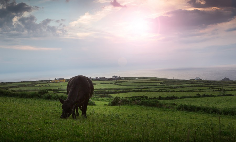 Cow grazing at Angus farm in Cornwall