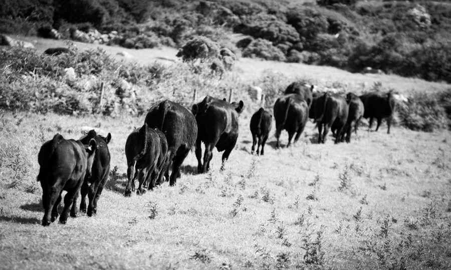 Pedigree Angus cattle at Angus breeders Gear Farm