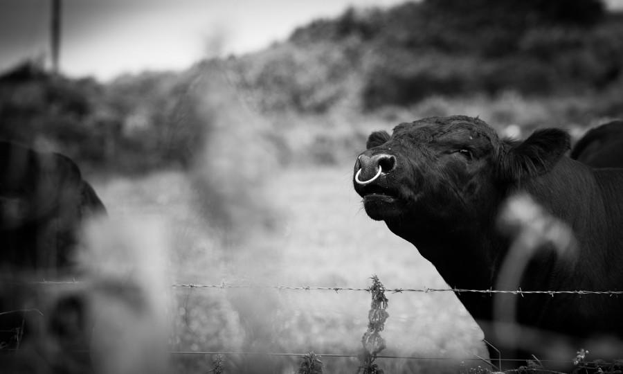 Angus bull Gear Flayme at Gear Farm, Cornwall